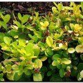 Buxus sempervirens Golden China