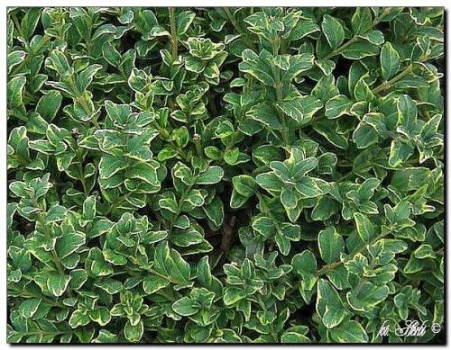 gew hnlicher buchsbaum buxus sempervirens 39 marginata. Black Bedroom Furniture Sets. Home Design Ideas