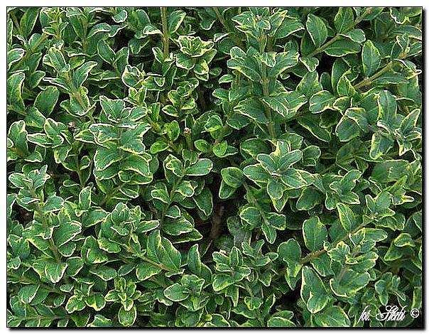 Gewöhnlicher Buchsbaum Marginata