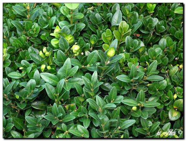 Gewöhnlicher Buchsbaum Pyramidalis