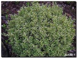 Gewöhnlicher Buchsbaum Silver Beauty