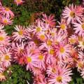 Herbstchrysantheme