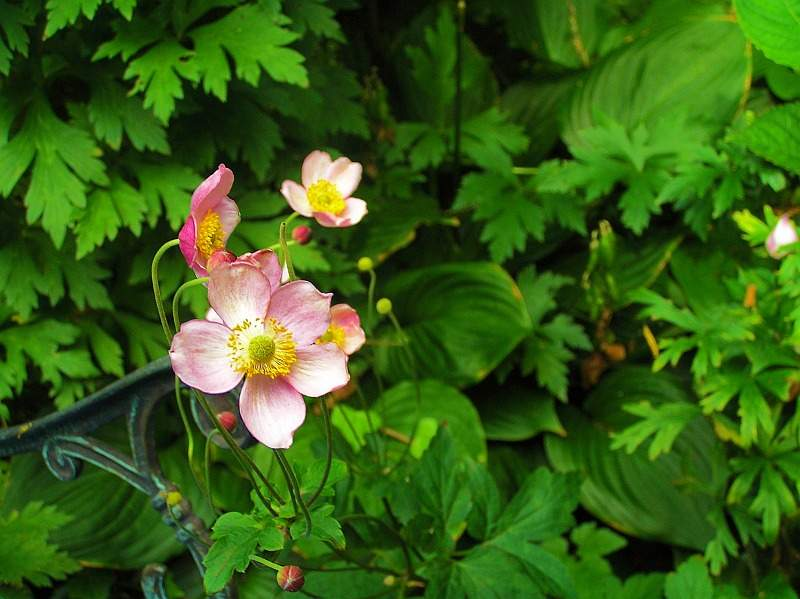 Filzblättrige-Anemone Robustissima