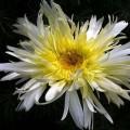 Garten-Margerite Goldrausch