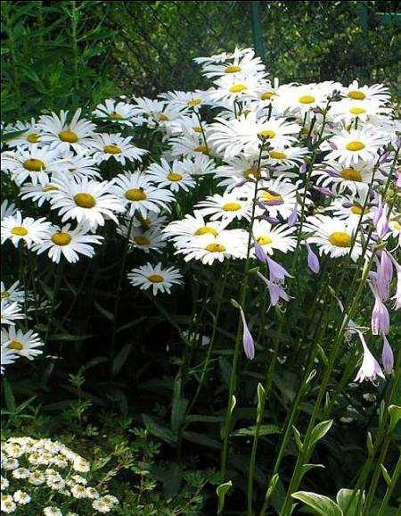 Garten-Margerite