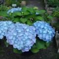 Gartenhortensie Sibilla
