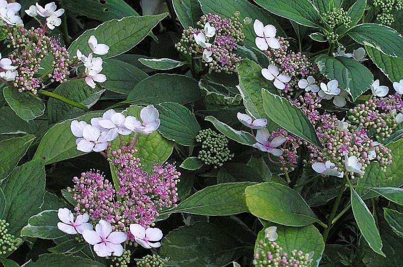 Gartenhortensie Maculata