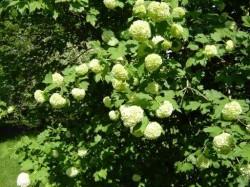 Gew hnlicher schneeball for Fruchtfliegen pflanzen