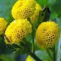 Mutterkraut Goldball