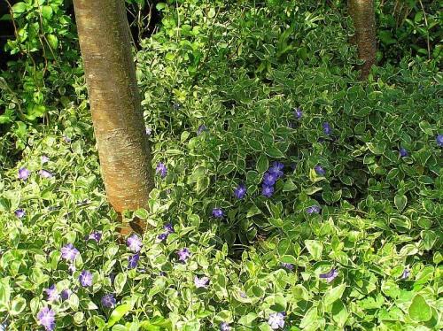 gro es immergr n vinca major 39 variegata 39 pflanzen. Black Bedroom Furniture Sets. Home Design Ideas