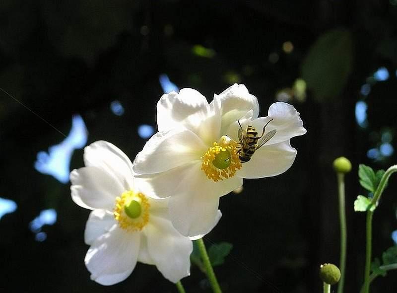 Herbst-Anemone Honorine Jobert