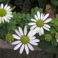 Herbst-Margerite