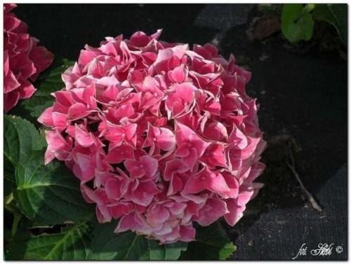 gartenhortensie hydrangea macrophylla 39 pillnitz. Black Bedroom Furniture Sets. Home Design Ideas