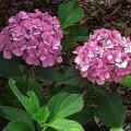 Gartenhortensie Renate Steiniger