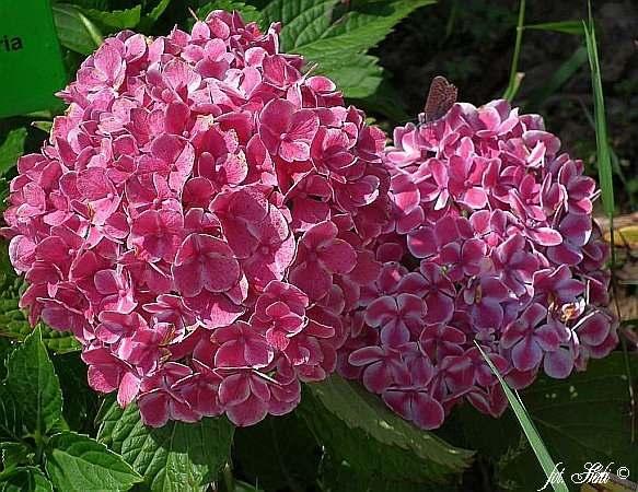 Gartenhortensie Lady Fujiyo