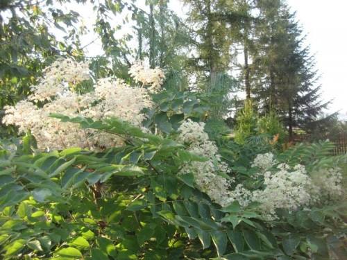 Japanische aralie aralia elata pflanzen enzyklop die - Japanische zimmerpflanzen ...