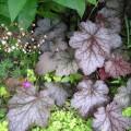 Kleinblütiges Silberglöckchen Palace Purple