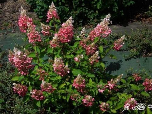 rispenhortensie hydrangea paniculata 39 pinky winky 39 pflanzen enzyklop die. Black Bedroom Furniture Sets. Home Design Ideas