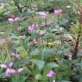 Rote Schildblume