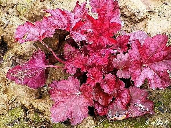 Purpurglöckchen Sparkling Burgundy