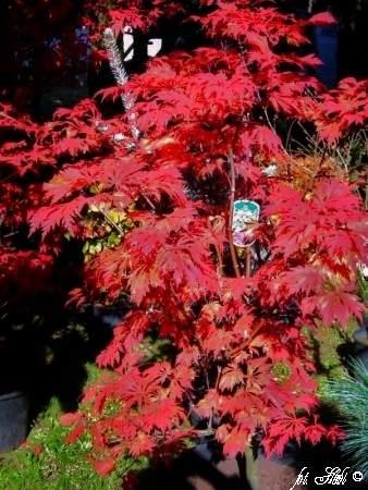 Japanischer Ahorn Aconitifolium