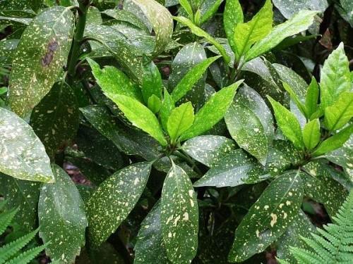 Japanische aukube aucuba japonica 39 variegata 39 pflanzen enzyklop die - Japanische zimmerpflanzen ...