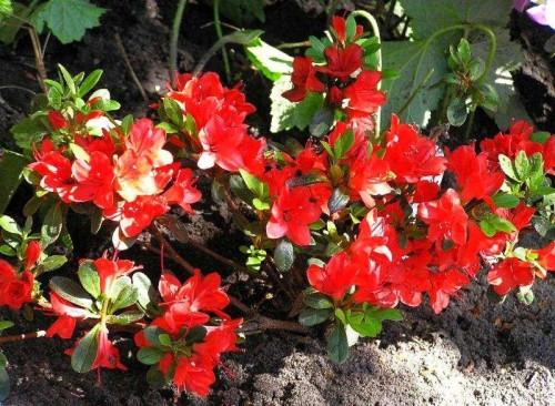 Japanische azalee rhododendron 39 fridoline 39 pflanzen enzyklop die - Japanische zimmerpflanzen ...