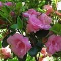 Azalee Rosebud