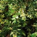 Gewöhnlicher Buchsbaum Aurea pendula