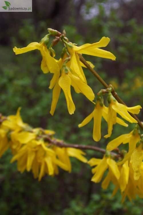Forsythie Primulina
