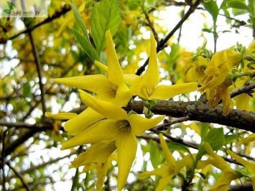forsythie forsythia intermedia spring glory 39 pflanzen enzyklop die. Black Bedroom Furniture Sets. Home Design Ideas