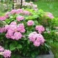 Gartenhortensie Bouquet Rose