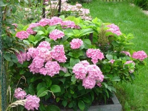 gartenhortensie hydrangea macrophylla 39 bouquet rose. Black Bedroom Furniture Sets. Home Design Ideas
