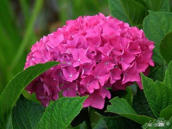 Gartenhortensie Adria