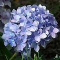 Gartenhortensie Nikko Blue
