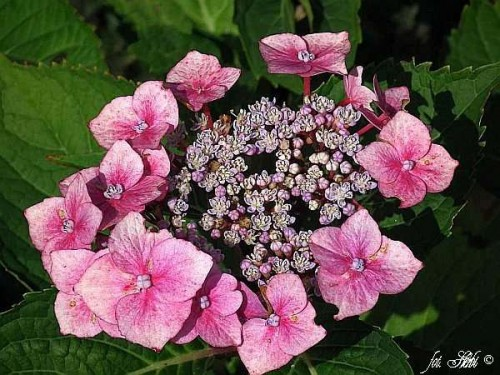 gartenhortensie hydrangea macrophylla 39 zorro 39 pflanzen enzyklop die. Black Bedroom Furniture Sets. Home Design Ideas