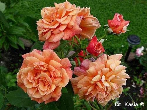 rose rosa 39 aloha 39 pflanzen enzyklop die. Black Bedroom Furniture Sets. Home Design Ideas