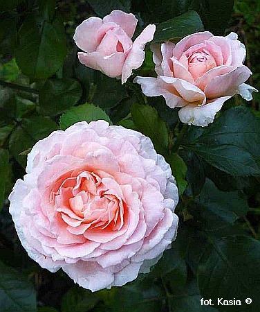 rose rosa 39 andre le notre 39 pflanzen enzyklop die. Black Bedroom Furniture Sets. Home Design Ideas