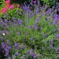 Echter Lavendel Hidcote