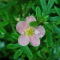 Fingerstrauch Lovely Pink