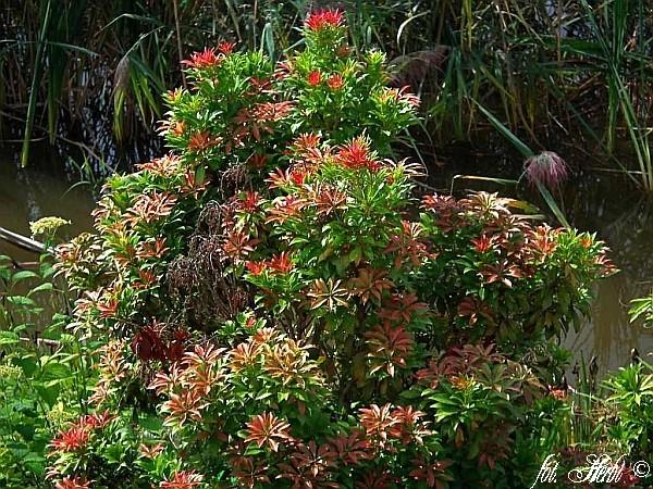 Japanisch lavendelheide mountain fire - Japanische zimmerpflanzen ...