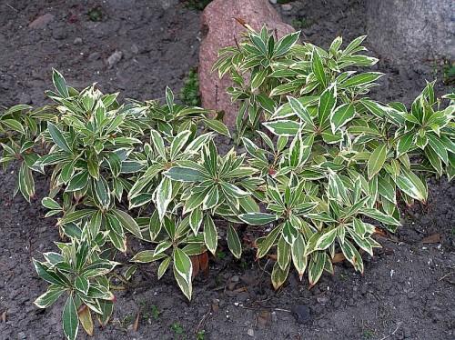 japanische lavendelheide pieris japonica 39 variegata 39 pflanzen enzyklop die. Black Bedroom Furniture Sets. Home Design Ideas