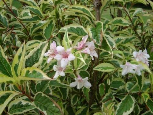 Liebliche Weigelie Weigela Florida Variegata Pflanzen Enzyklopadie