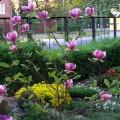 Tulpenmagnolie Rustica Rubra