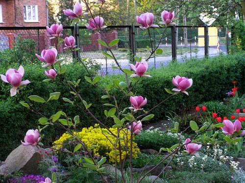 tulpenmagnolie magnolia x soulangeana 39 rustica rubra. Black Bedroom Furniture Sets. Home Design Ideas