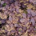 Gewöhnlicher Perückenstrauch Royal Purple