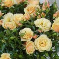 Rose Zorba