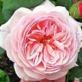 Rose A Shropshire Lad