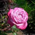 Rose Blue River