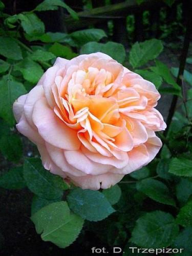 rose rosa 39 charles austin 39 pflanzen enzyklop die. Black Bedroom Furniture Sets. Home Design Ideas